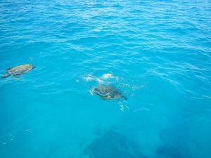 The turtles leading us into the lagoon at LMI