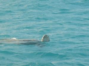 Turtle at Tongue Bay
