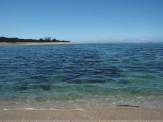 Tenia western bay