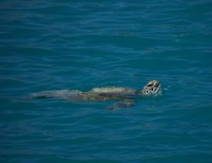 Hullo turtle